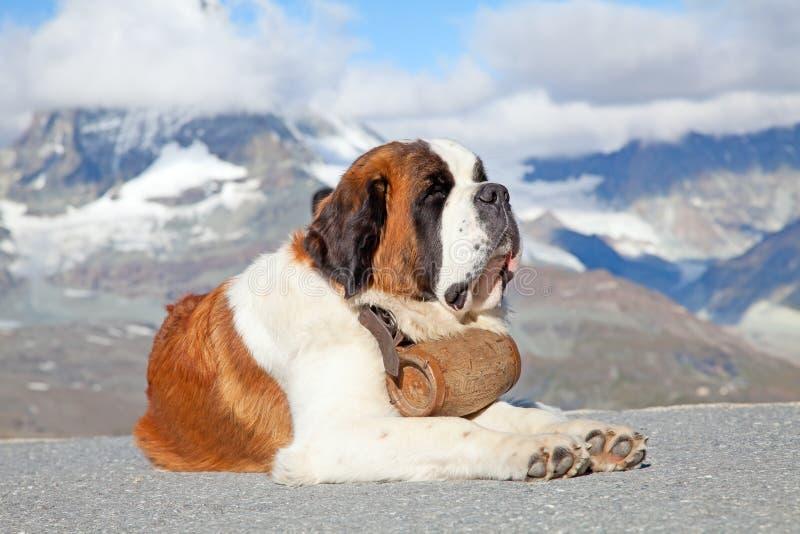 St. Bernard Dog imagen de archivo libre de regalías