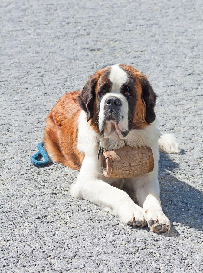 St Bernard Dog fotos de archivo libres de regalías