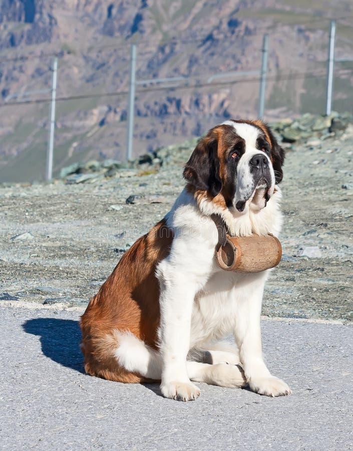 St Bernard Dog imagen de archivo libre de regalías