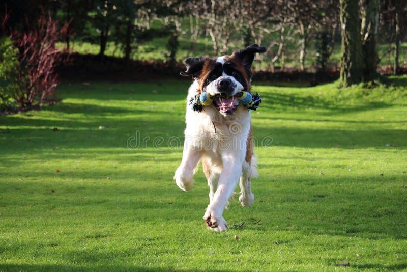 St Bernard Dog Playing With Toy no jardim fotografia de stock