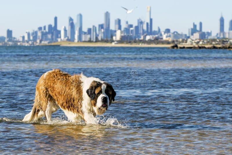 St. Bernard Dog Swimming am Strand Melbourne Australien lizenzfreie stockfotos
