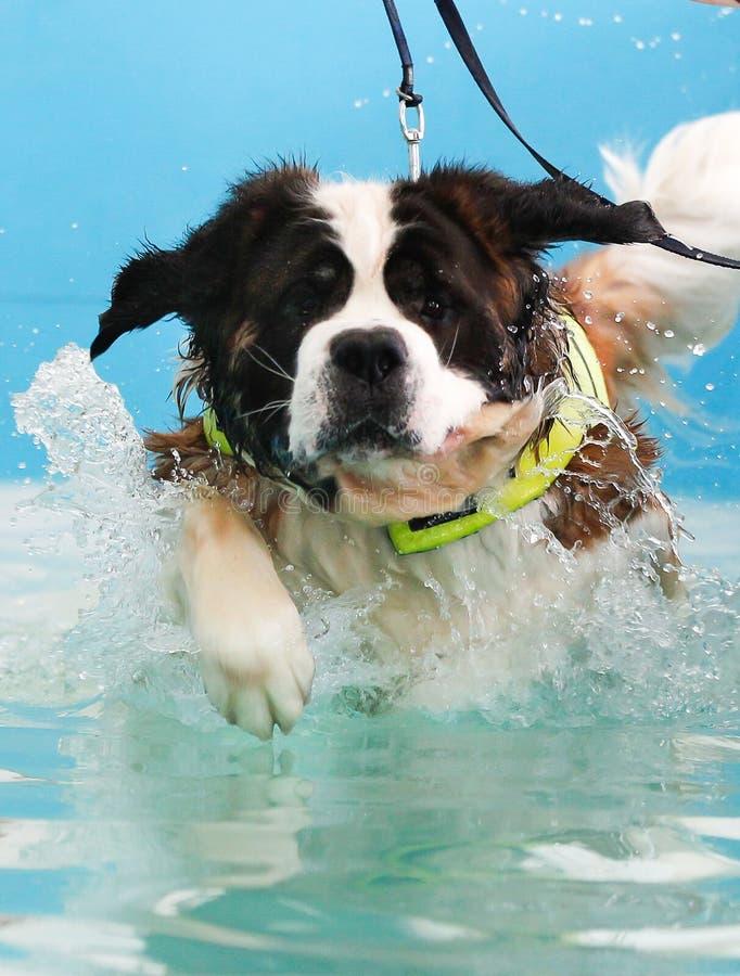 St Bernard dog taking a swim stock photography