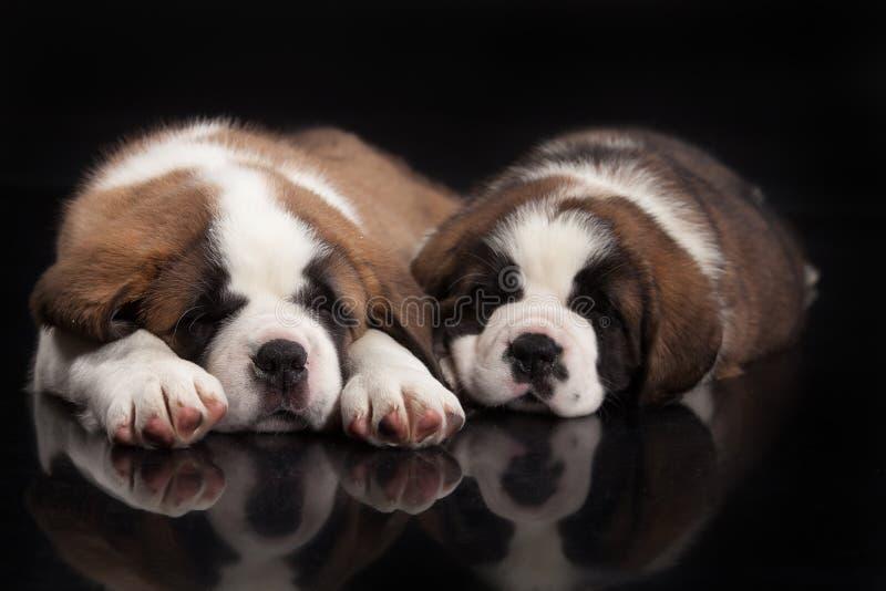 St Bernard Puppies fotografia stock libera da diritti