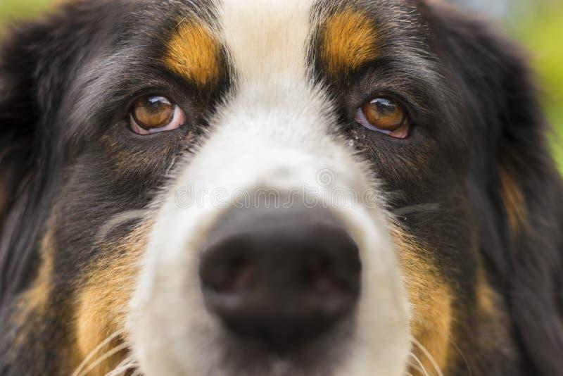 St. Bernard Puppy royalty free stock photos