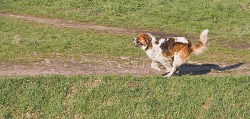 Download St. Bernard running stock photo. Image of speed, saint - 4847490