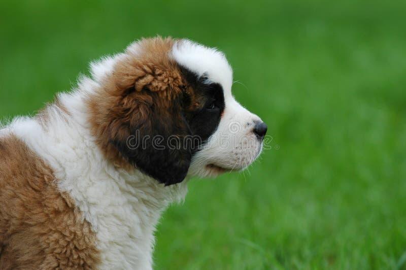 St.Bernard's dog puppy stock photo