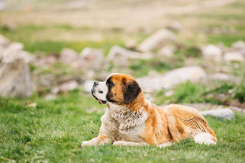 Download St. Bernard Or St Bernard Dog Sit Outdoor In Green Spring Meadow Stock Image - Image of bernard, breed: 87714465