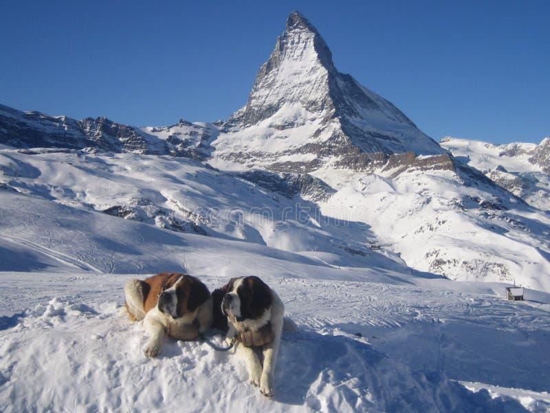 St. Bernards beim Matterhorn stockbild