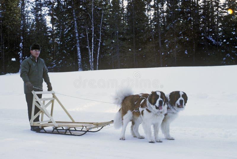St Bernards che tira slitta in neve fotografie stock libere da diritti