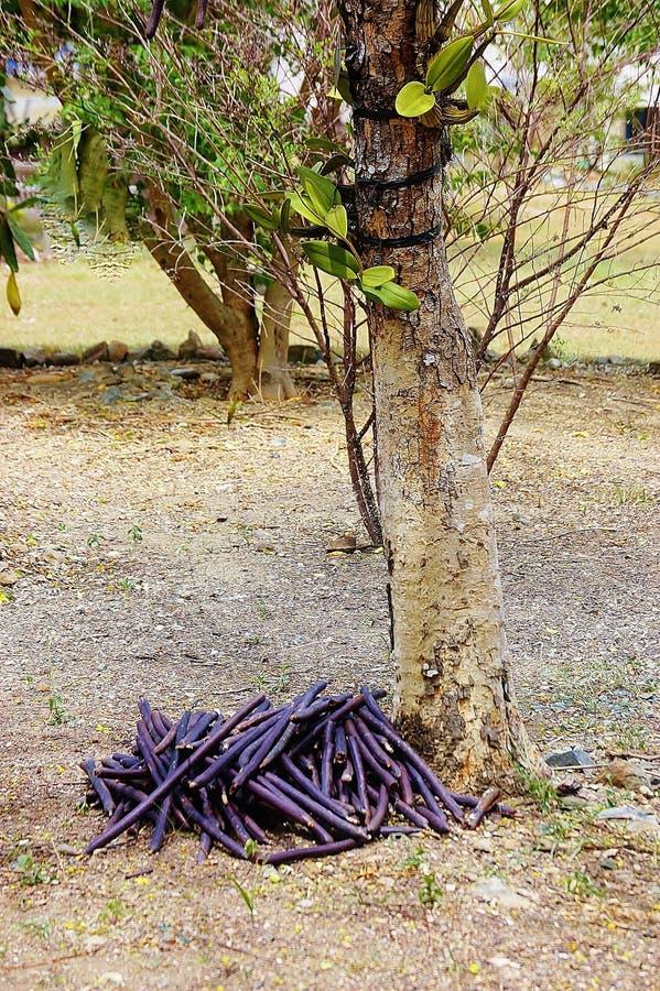 Durable Plants For The Garden: St Croix Usvi Botanical Garden Canafistula Fruits Stock