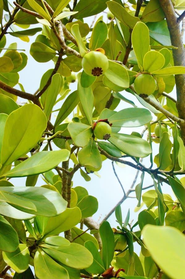 St.-croix usvi Clusia rosea Neigungsapfel trägt Früchte lizenzfreies stockbild