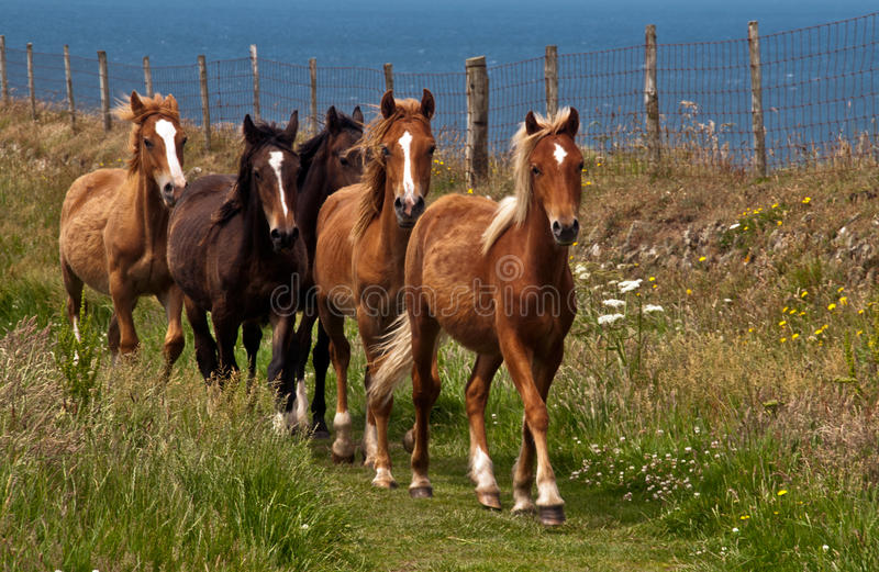 St Davids Ponies royalty free stock images
