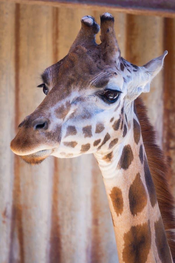 St?ende av camelopardalis f?r en giraff eller Giraffa arkivfoton