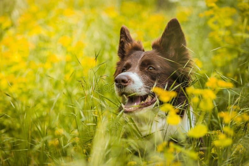 St?ende av den gulliga bruna och vita border collie hunden arkivfoto