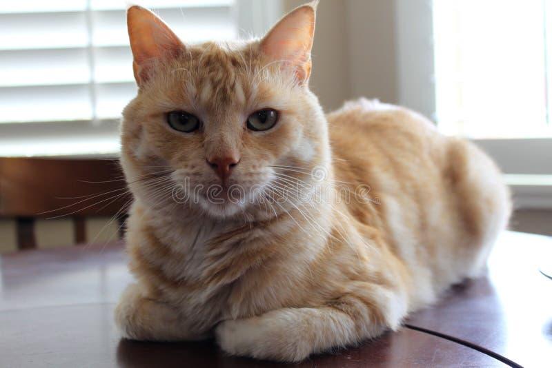St?ende av den orange och vita katten arkivbild