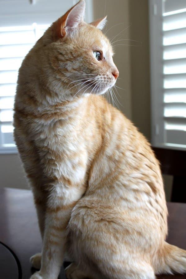 St?ende av den orange och vita katten royaltyfri fotografi