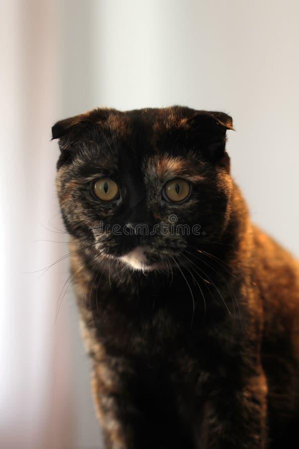 St?ende av den sk?ldpadds- katten f?r skotskt veck som sitter p? en tabell mot en vit v?gg royaltyfri foto