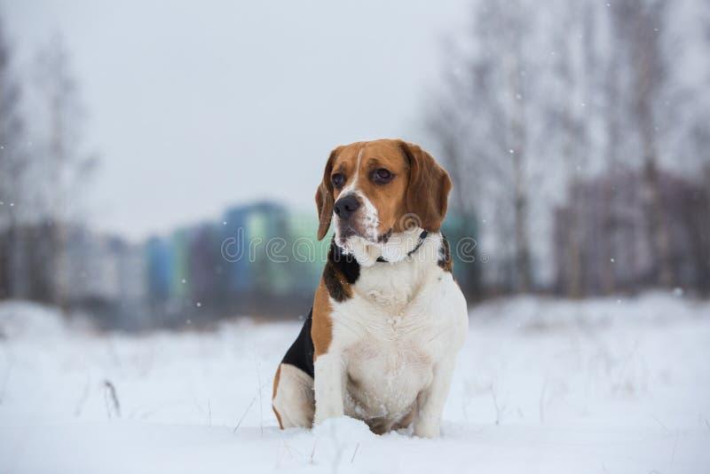 St?ende av en beaglehund i vintern, molnig dag arkivfoton