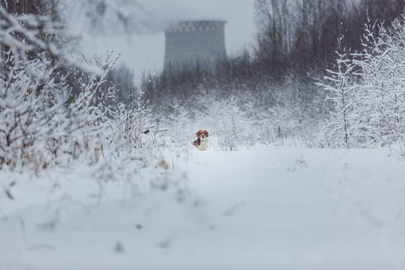 St?ende av en beaglehund i vintern, molnig dag fotografering för bildbyråer