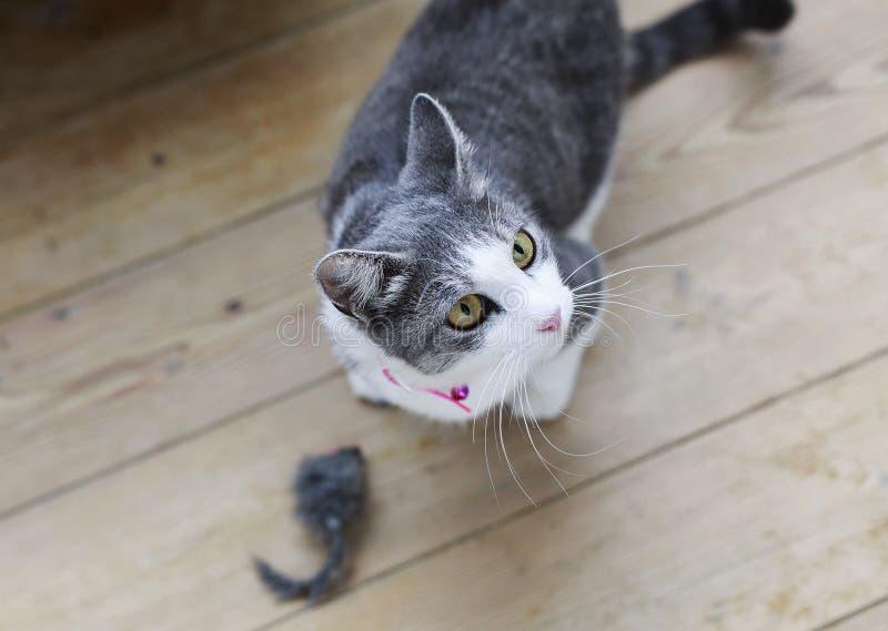 St?ende av en gullig fluffig katt med gr?na ?gon med ett vitt br?st i en r?d krage royaltyfria bilder