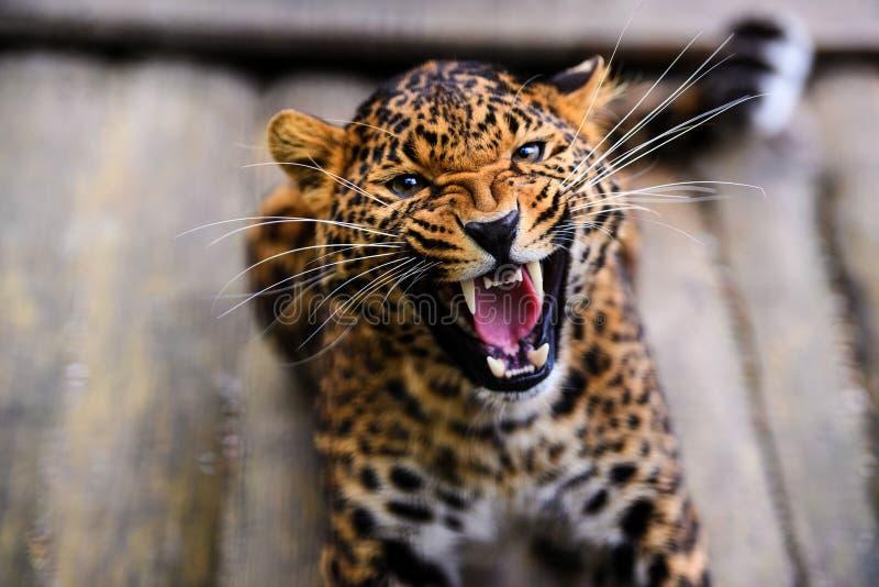 St?ende av en h?rlig leopard arkivfoto
