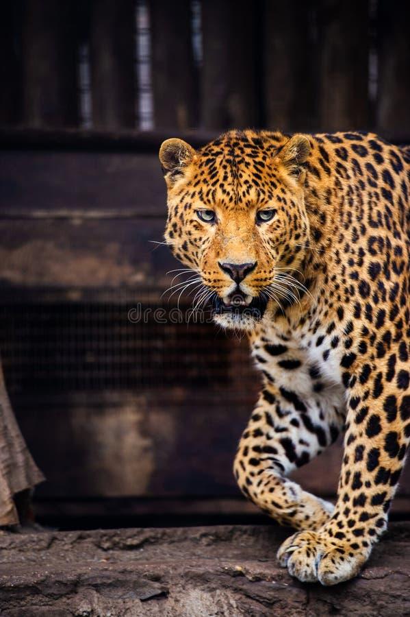 St?ende av en h?rlig leopard arkivbild