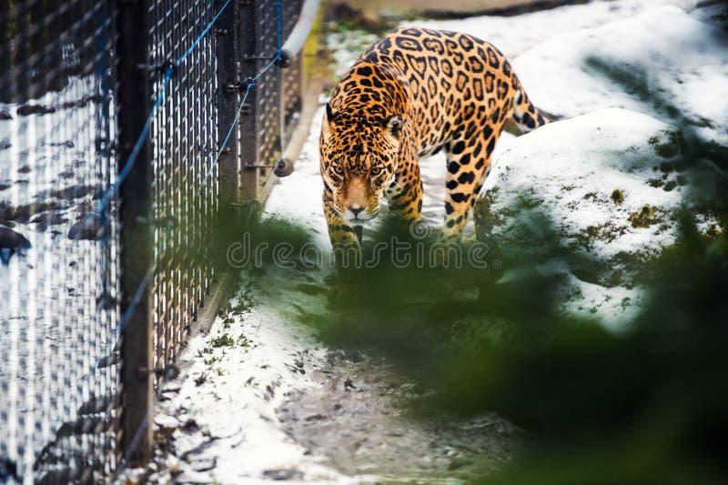 St?ende av en h?rlig leopard royaltyfri bild
