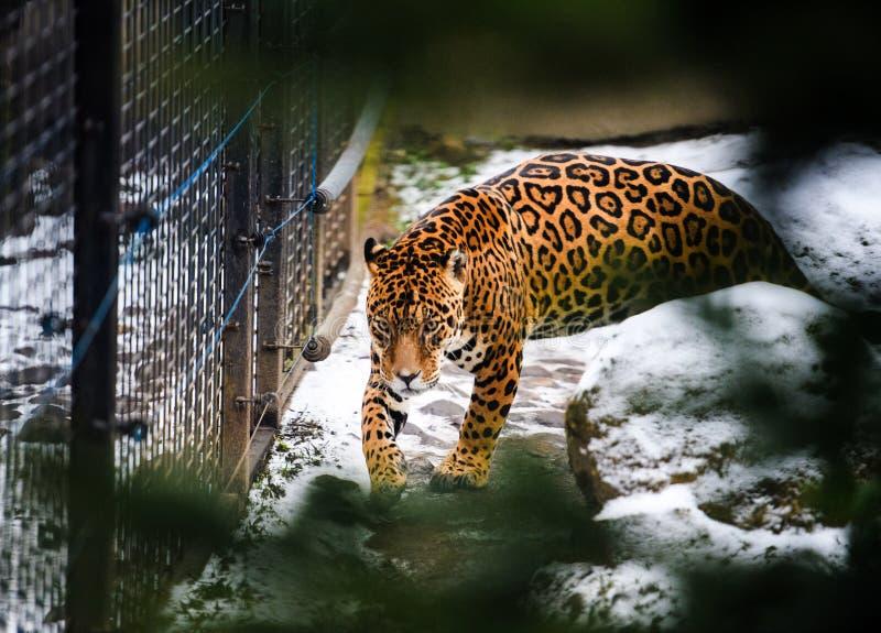 St?ende av en h?rlig leopard royaltyfria bilder