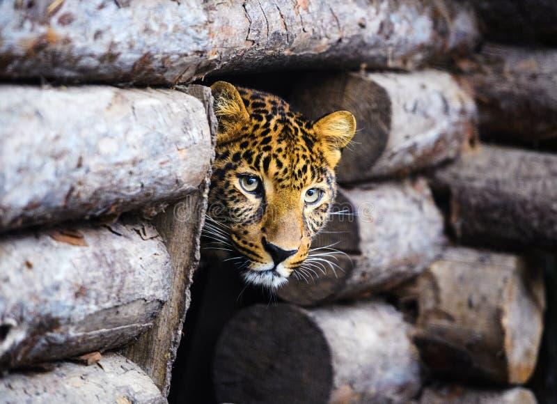 St?ende av en h?rlig leopard arkivfoton