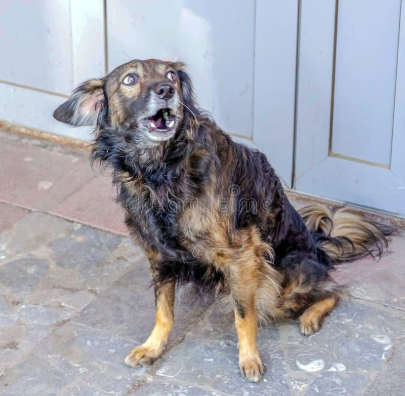 St?ende av en ledsen heml?s hund arkivbild