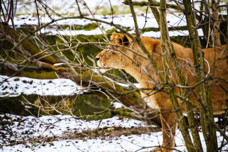 St?ende av en lioness arkivbild