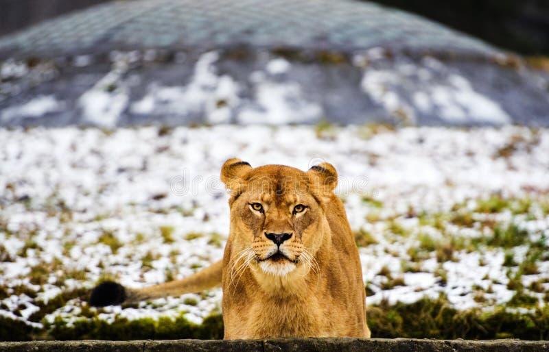 St?ende av en lioness royaltyfri fotografi