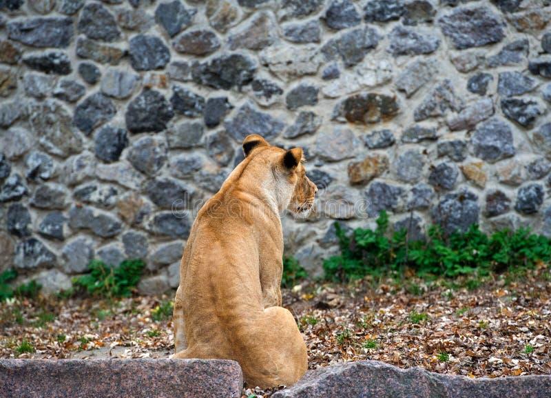 St?ende av en lioness royaltyfri foto