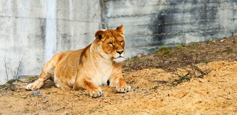 St?ende av en lioness arkivfoton