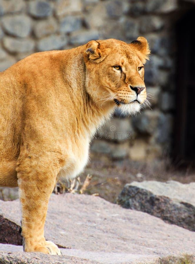 St?ende av en lioness royaltyfria bilder