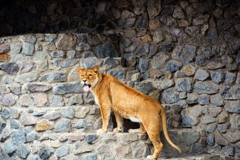 St?ende av en lioness royaltyfria foton