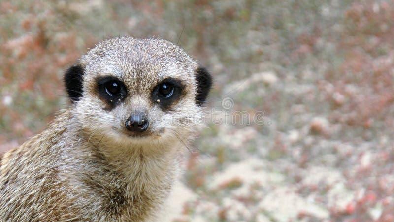 St?ende av en meerkat arkivfoton