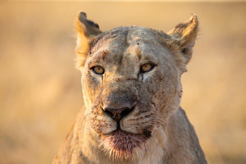 St?ende av en stor lejoninna med blod p? hennes framsida, n?r att ha ?tit ett byte royaltyfri foto