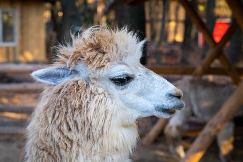 St?ende av gullig vit alpaca eller Vicugnapacos fotografering för bildbyråer