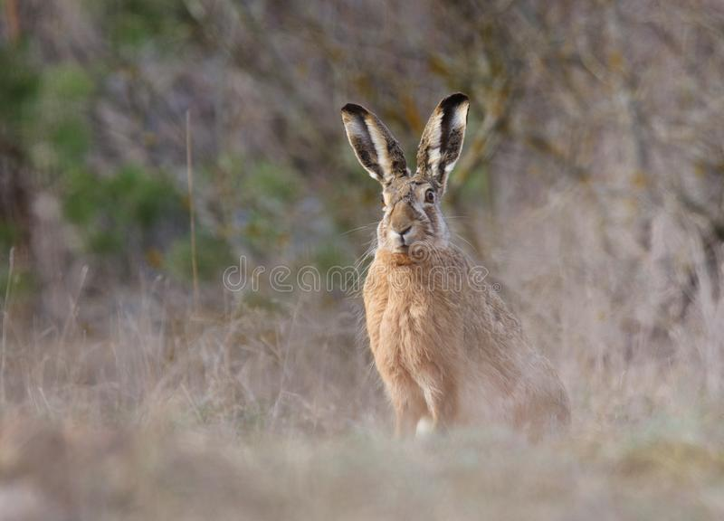 St?ende av Hare arkivfoto