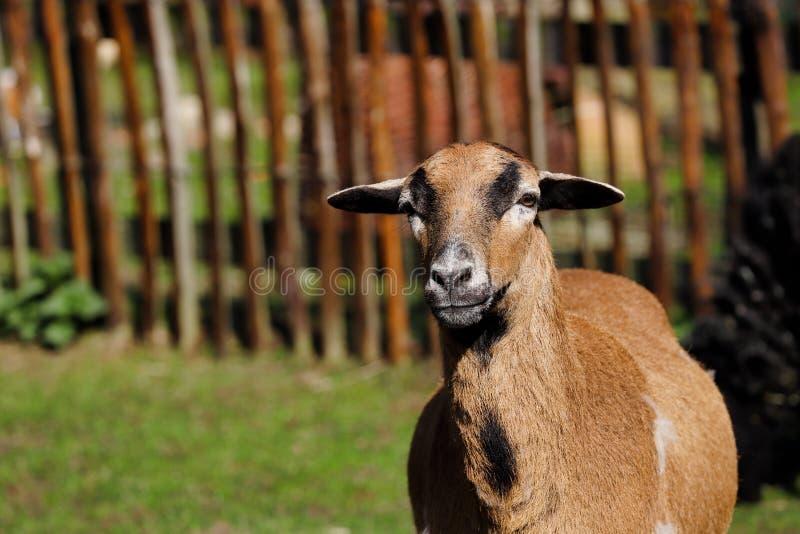 St?ende av inhemska Kamerun f?r p? farmfielden royaltyfria foton