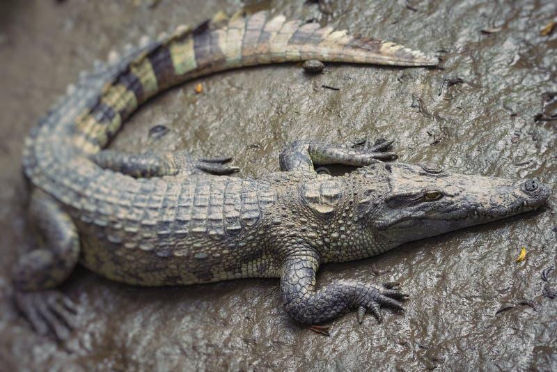 St?ende av m?nga krokodiler p? lantg?rden i Vietnam, Asien Selektivt fokusera royaltyfri fotografi