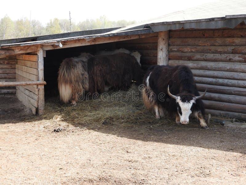 St?ende av mongolian yak bak tr?staketet closen colors slappt ?vre siktsvatten f?r liljan lantlig plats arkivbild