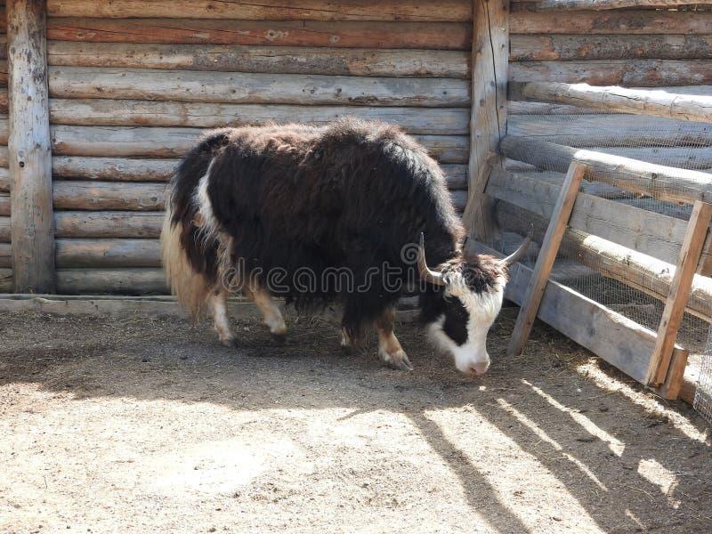 St?ende av mongolian yak bak tr?staketet closen colors slappt ?vre siktsvatten f?r liljan lantlig plats royaltyfri foto