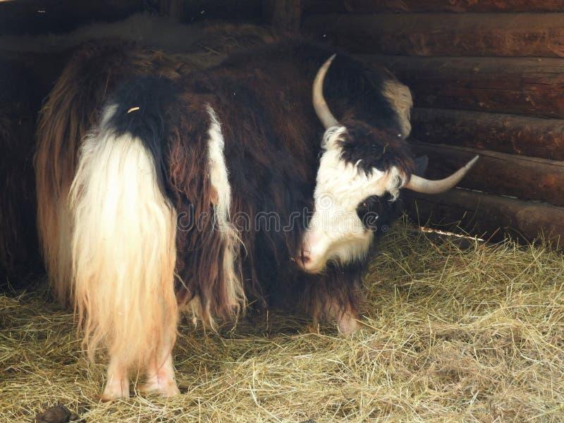 St?ende av mongolian yak bak tr?staketet closen colors slappt ?vre siktsvatten f?r liljan lantlig plats royaltyfri bild