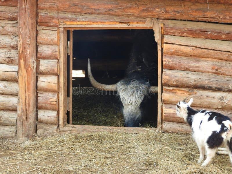 St?ende av mongolian yak bak tr?staketet closen colors slappt ?vre siktsvatten f?r liljan lantlig plats arkivfoton