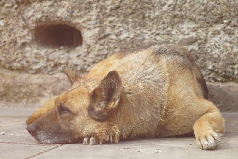 St?ende av vila f?r hund f?r tysk herde royaltyfri bild