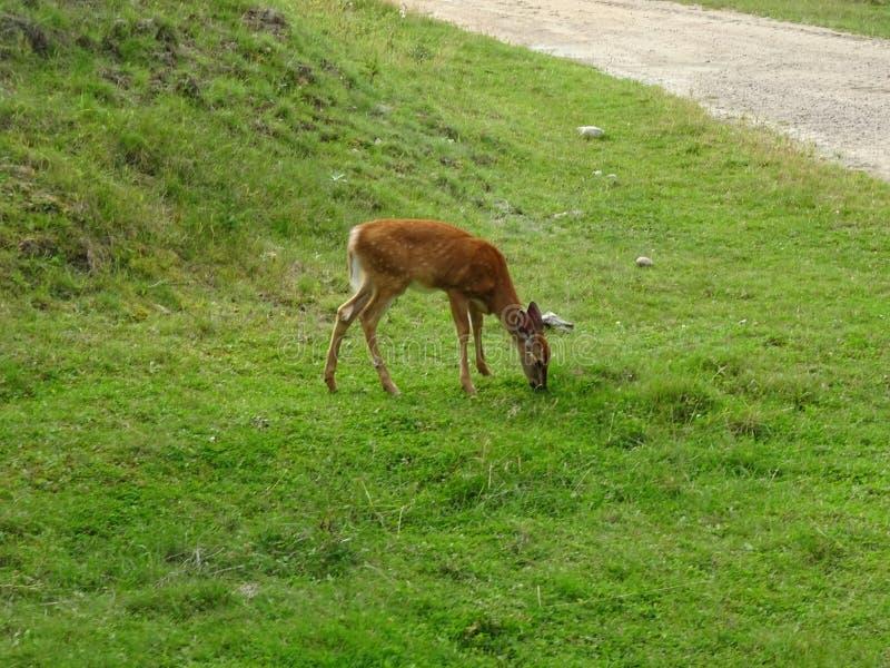 St Felicien de zoo : un faon photos libres de droits
