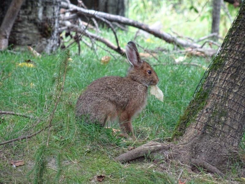 St Felicien do jardim zoológico: um coelho que come a folha imagem de stock royalty free