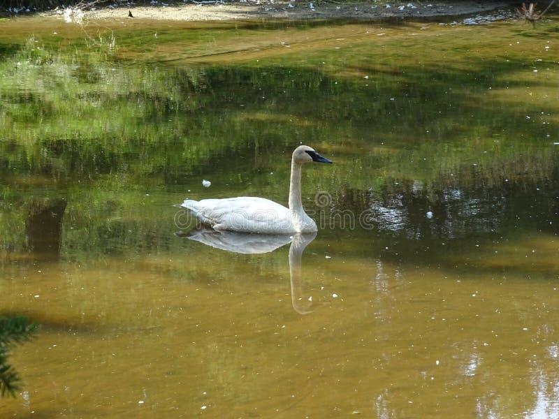 St Felicien do jardim zoológico: uma cisne com um bico preto fotografia de stock royalty free